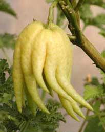 buddhas hand citrus