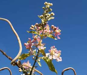 Ayahuasca Flowers at XPlanta