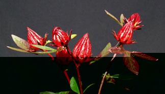 HIBISCUS SABDARIFFA, Jamaica flowers