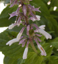 Salvia divinorum flowers